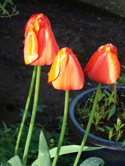 Dewdrops on Tulips