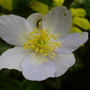Anemone nemorosa (Windflower)