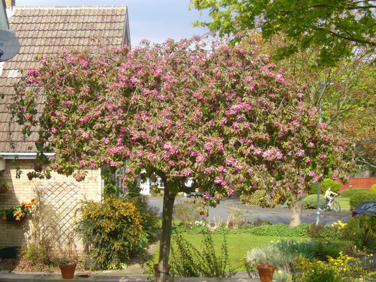 Crab Apple now in Blossom