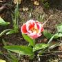 Rhubarb_005