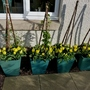 Tulip Calimero in pots