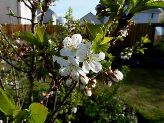 Dessert Cherry Blossom (Prunus)