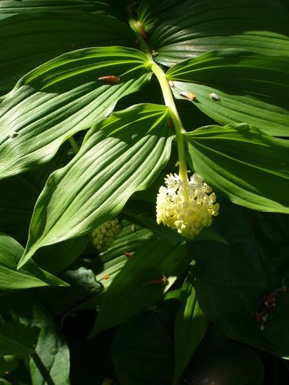 Smilacina racemosa (False spikenard) (Smilacina racemosa (False spikenard))