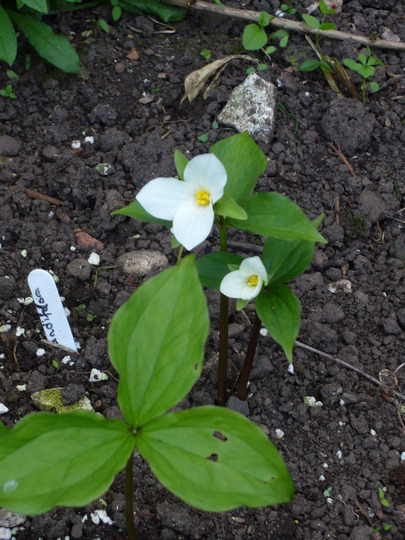 Trillium grandiflorum (Wake robin) (Trillium grandiflorum (Wake robin))