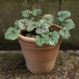 Heuchera Green Spice 2010
