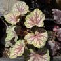 HEUCHERA Green Spice 2009