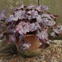 Heuchera Midnight Rose 2010