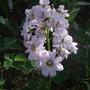 Cardamine pratensis 'Flore Pleno' (Cardamine pratensis 'Flore Pleno')