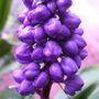 tradescantia purple dome 2