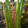 Heliconia schiedeana - Claw Flower Emerging Flower Spike (Heliconia schiedeana - Claw Flower)