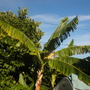 Musa 'Golden Finger' -  Golden Finger Banana / Ficus cyathistipula (Musa 'Golden Finger' -  Golden Finger Banana / Ficus cyathistipula)