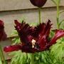 Black Beauty fully opened (tulip)