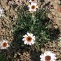 Atlas Daisy Rhodanthemum Agador (Rhodanthemum Atlas Daisy Agadir)