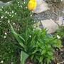 "Tulipa San Marino very tall late Tulip its over 30"" tall (Tulipa San Marino)"