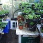 lucys baskets made up in backgarden greenhouse