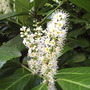 Laurocerasus (English or Cherry Laurel)