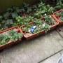 pansies in my new garden