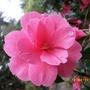 Rhododendron (Camellia.)