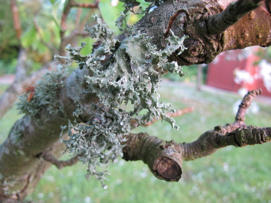 Lichen on old pear tree April 2011