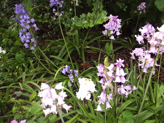 Bluebells (and other coloured bells)