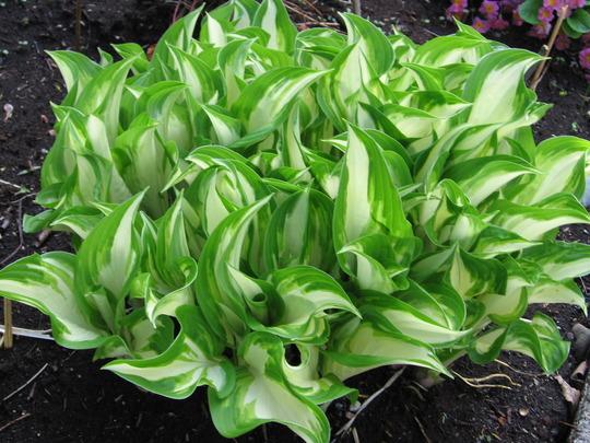 Koreana (Hosta undulata)