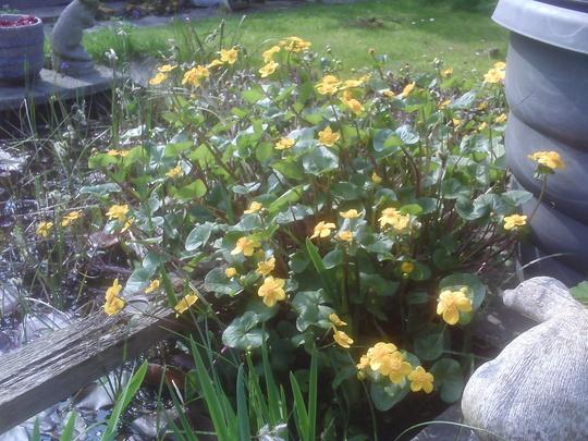Marsh marigold (Caltha palustris (Kingcup))