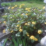 Marsh marigold (Caltha palustris (Kingcup))
