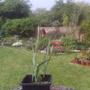 Fritillaria pyrenaica (Fritillaria pyrenaica)