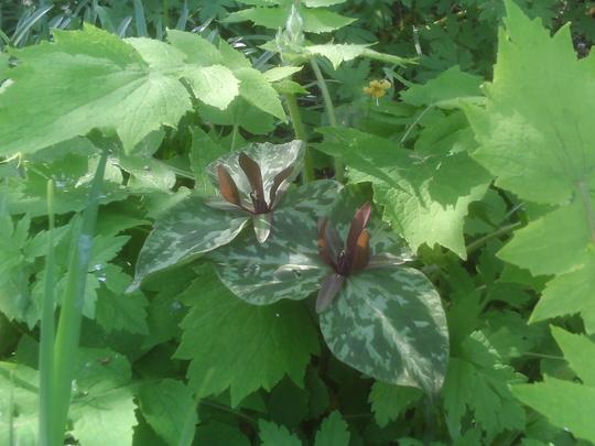 Trillium (Trillium cuneatum)