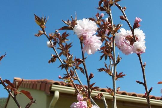 """Prunus """"Royal Burgundy"""" (Prunus Serrulata)"""