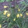 Narcissus_bulbocodicum_2