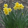 Nargis of the east (Narcissus pseudonarcissus (Daffodil))