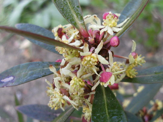 Drimys Lanceolata  (Drimys lanceolata)