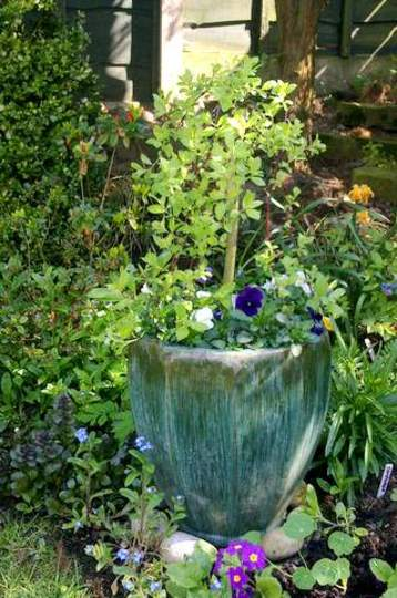 Salix Caprea  Kilmarnock Willow  Mini Standard