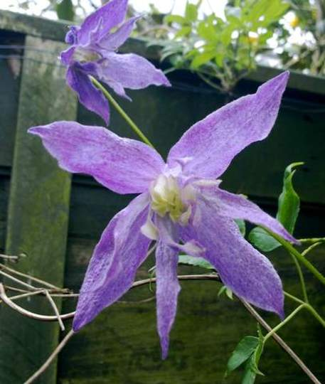 Clematis  [unknown]   for Sixpence