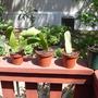 More Epiphyllum cuttings (Epiphyllum oxypetalum)