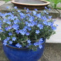 Lithodora 'Heavenly Blue' (Lithodora diffusa (Lithodora))