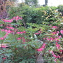 Dicentra in full flow. (Dicentra spectabilis (Bleeding heart))