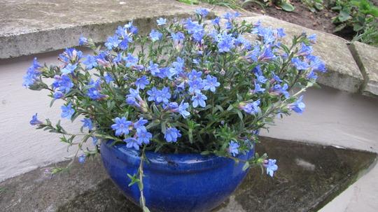lithodora 39 heavenly blue 39 grows on you. Black Bedroom Furniture Sets. Home Design Ideas