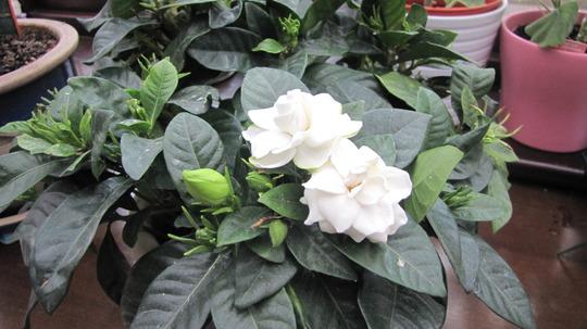 Gardenia flowering (Gardenia jasminoides (Cape jasmine))