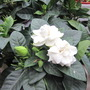Gardenia flowering (Gardenia jasminoides (Cape jasmine))