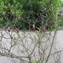 Magnolia liliiflora (Magnolia)