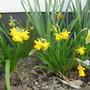 Narcissus_tete_a_tete_