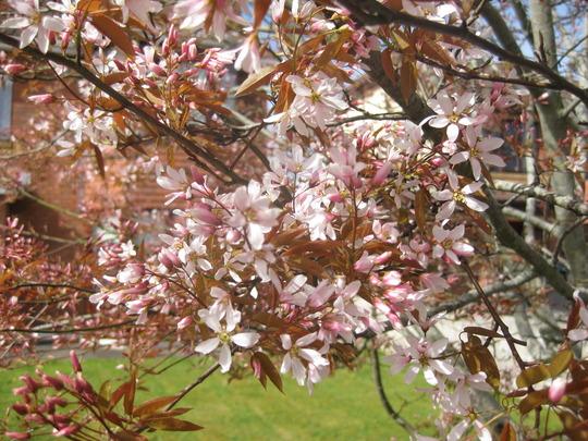 Amelanchier 'Robin Hill' flowers