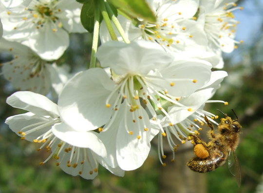 Bee on the Cherry blossom