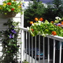 Nasturtiums & Clematis on deck /07