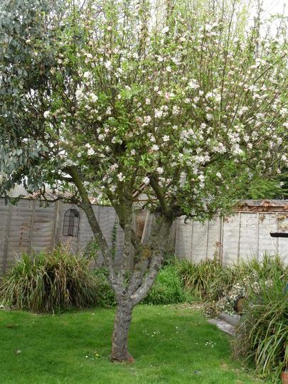 Mums Apple Tree