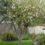 Mums Apple Tree