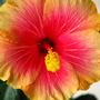 Hibiscus_huge_indoor_tree