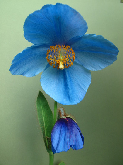 photographing the poppy (Meconopsis betonicifolia (Himalayan blue poppy))